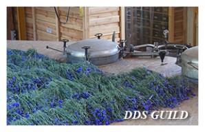 DDS-GUILD7